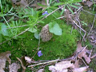 Morel in Violets
